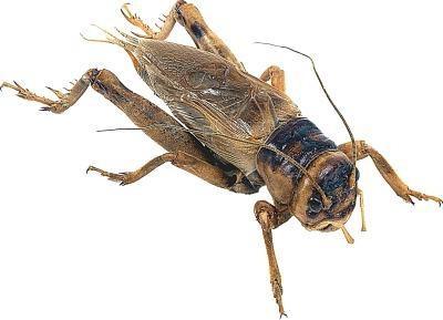 Hva Crickets spiser i naturen