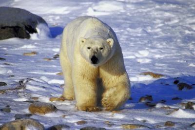 Hva gjør en isbjørn Look Like & Hvor kommer det Live?
