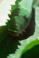 Hvordan bli kvitt av Caterpillars Naturligvis