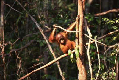 Raske fakta om Orangutang