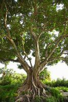 Klippe en Fiddle Leaf Fig Top og gjenplanting
