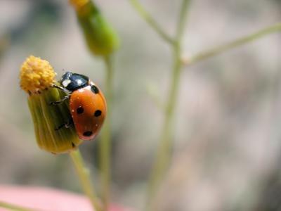 Deler av en Lady Beetle