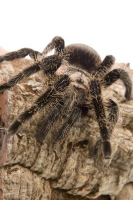 Hvordan bestemme kjønn på en Tarantula