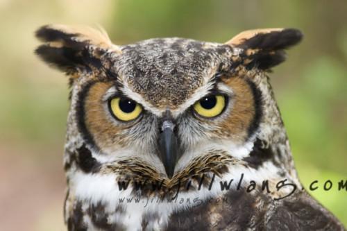 Hvordan finne en god Horned Owl
