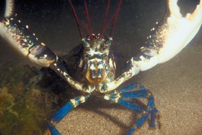 Forskjellen mellom blå kreps og Blue Lobster
