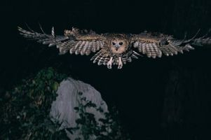 Hva slags fisk Betyr en Fish Owl spise?