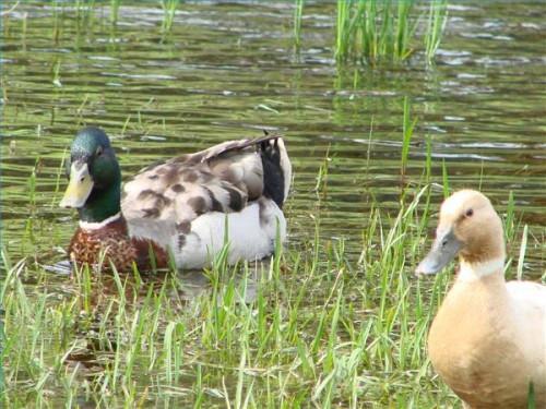 Hvordan Ducks Kommun Do?