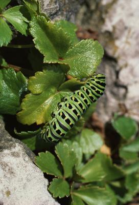 Ulike arter av Caterpillars