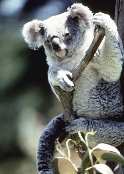 Hvor får Koala Bears Live?