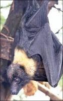Hvordan en Bat se om natten?
