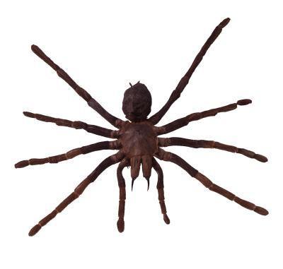 Brown Edderkopper i Colorado