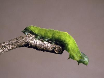 Typer av North American Caterpillars