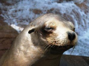 Beskrivelse av Fur Seals