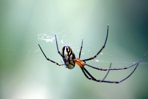 Giftige edderkopper i Madagaskar