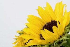 Hvordan å arrangere en Sunflower brudebukett