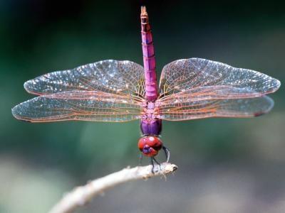 Typer Dragonflies