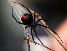 Kjennetegn på en Black Widow Spider