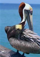 Hva er effekten hvis Pelicans bli utryddet?