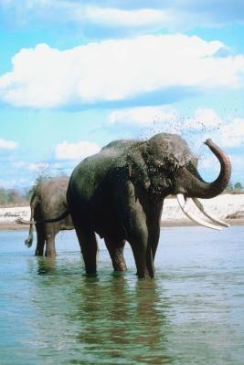 Hvordan kom asiatiske elefanter blir truet?