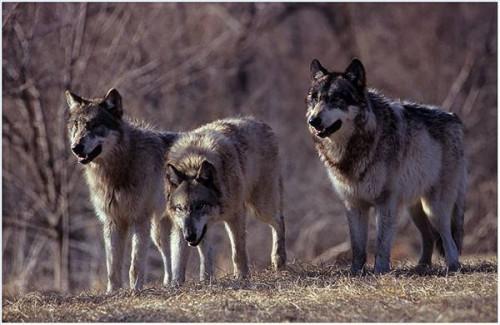 Hvordan Wolves Mate Do?