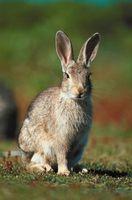 Rabbit Svangerskap og fødsler
