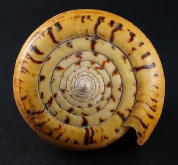 Hvordan identifisere Mollusk Shells
