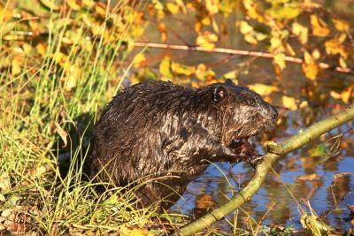 Hvordan bli kvitt Beavers i Mississippi