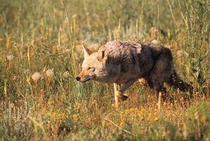 Forskjeller mellom Wolves og Coyotes