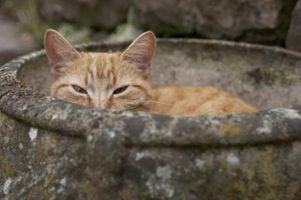 Hvordan katter som bor i vill finne mat?