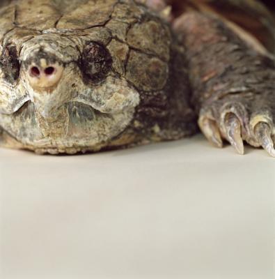Hvordan jakten Festing Turtles