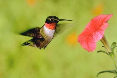 Hummingbirds som er vanlige i delstaten Ohio