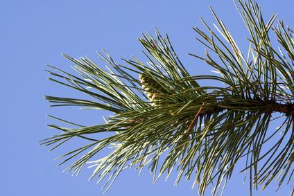 Fakta om skottene Pine Tree