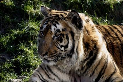 Hva Tiger arter finnes?