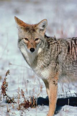 Nattaktive dyr som er funnet i Iowa