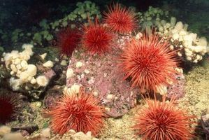 Predators of the Sea Urchin