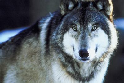 Gray Wolf Funksjoner og tilpasninger