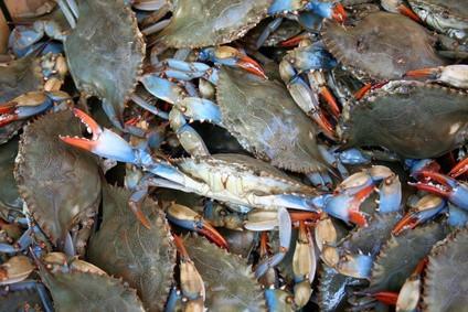 Hvilken tid på Month Blue Crabs Molt?