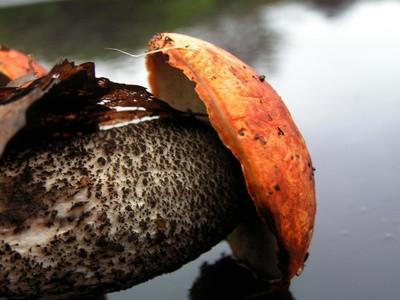 Mushroom Jakt i North Idaho
