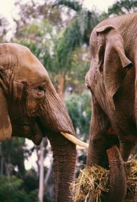 Hva er forskjellene i Male & Female Elephants?