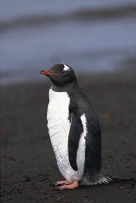 Gentoo Penguins 'Kjennetegn på Survival