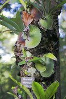Om Staghorn Ferns