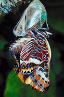 Hva gjør Butterflies & metamorfe bergarter har til felles?