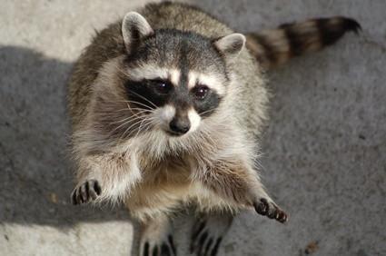 Hvordan skal Raccoons Mark Territory?