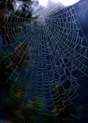 Identifisere Svart Michigan Edderkopper