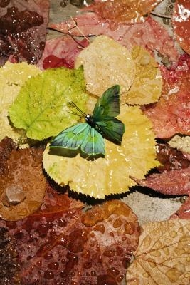 Hva betyr fargene på Butterflies mener?