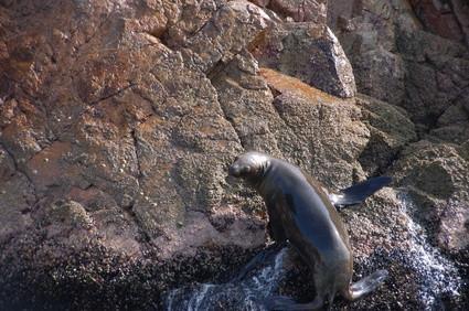 Hvordan Seals beskytte seg mot rovdyr?