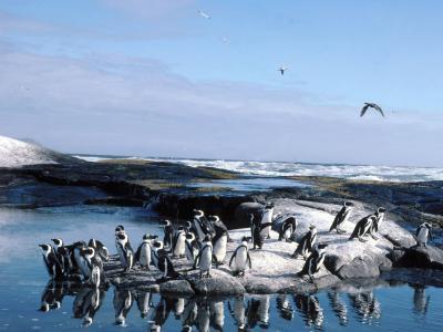Ansvarsområdet til Kvinnelige Penguins og deres Chicks