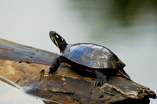 Vann Turtle Identification