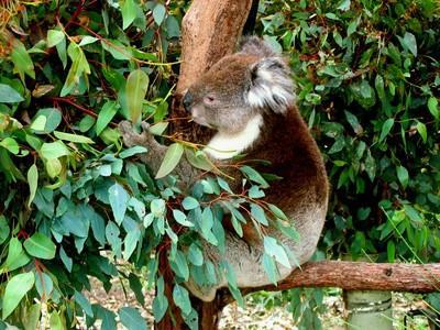 Koala naturlige habitat