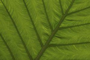Hvilke funksjoner av stomata i Leaf?